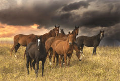 Herd of horses in evening field royalty free stock images