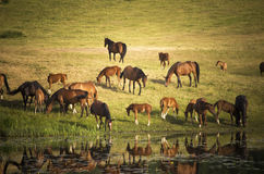 Herd of horses in evening by the lake Royalty Free Stock Photo