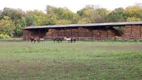 Herd of  horses stock footage