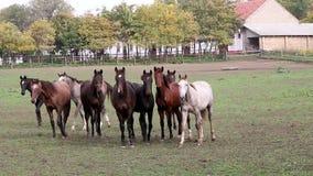 Herd of  horses on farm stock video