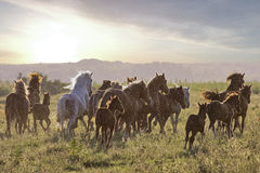 Herd of  horses fast running on the medov Royalty Free Stock Photo