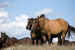 Herd of horses in field Royalty Free Stock Photos