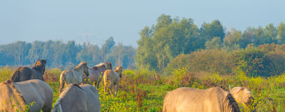 Herd of horses in a field at sunrise in summer Royalty Free Stock Photos