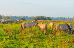 Herd of horses in a field at sunrise in summer royalty free stock image