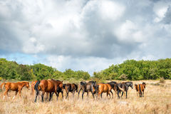 Herd of horses on the field Royalty Free Stock Photography