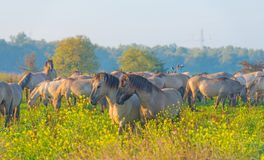 Herd of horses in a field at sunrise in summer Stock Images