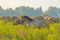 Herd of horses in a field at sunrise in summer Stock Photo