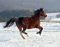 Horse. Herd of horses on the field in winter Royalty Free Stock Image