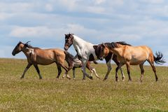 A herd of horses with foals drink water from a pond on a hot, summer day. stock photos