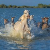 Herd of horses. And foals running in the water, in Camargue royalty free stock photos