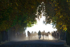 Herd of horses in the foggy chesnut avenue Stock Photography