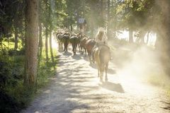 Herd of horses followed by woman on sunny forest path. Herd of horses followed by woman on dusty forest path, Banff National Park, Alberta, Canada Royalty Free Stock Photography