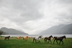 Herd of horses gallop on the field. Near the mountain lake royalty free stock photos