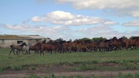 Herd of horses galloping on the background of an old abandoned farm