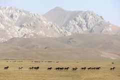 A herd of horses gallops across the steppe at Song Kul Lake. In Kyrgyzstan Royalty Free Stock Photography