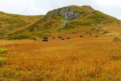 Horses graze in the mountain steppe stock photography
