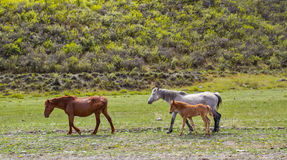 Herd of horses is grazed against mountains Stock Photos