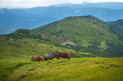 Grazing horses at high-land pasture at Carpathian Mountains. Royalty Free Stock Images