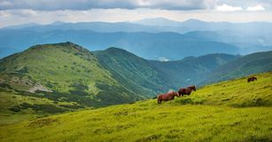 Panoramic photo of grazing horses at high-land pasture at Carpathian Mountains. Royalty Free Stock Photo