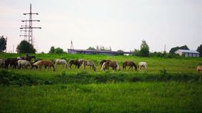 Herd of horses is grazed on  meadow stock video footage