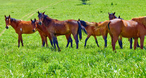 The herd of horses is grazed on a meadow. Wild horses are grazed highly in mountains on a meadow Royalty Free Stock Image
