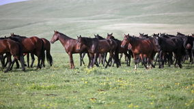 Herd of horses is grazed stock footage