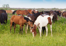 Herd of horses is grazed on a summer meadow Stock Image