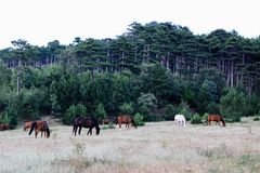 A herd of horses grazes in a valley with a green hill and mountains in the background. Crimean landscapes. stock photo