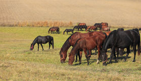 Herd of horses grazing Stock Photography