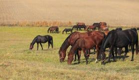 Herd of horses grazing Stock Photography