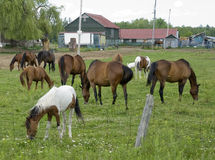 Herd of horses grazing Royalty Free Stock Image