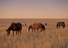 Herd of horses grazing Stock Photo
