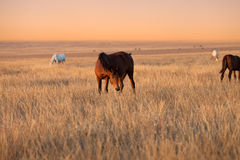 Herd of horses grazing in evening pasture Royalty Free Stock Photos
