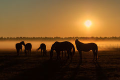 Herd of horses grazing in a field on a background of fog. And sunrise Royalty Free Stock Photo