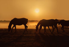 Herd of horses grazing in a field on a background of fog and sunrise Stock Photo