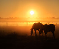 Herd of horses grazing in a field on a background of fog and sunrise stock photography