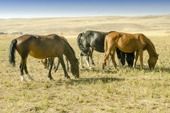 Herd of horses Royalty Free Stock Photography