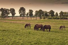Herd of horses grazing in field in the evening,. Colour toning applied royalty free stock photos