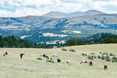 Herd of horses grazing in field Royalty Free Stock Images