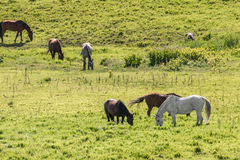 Herd of horses grazing in field. A herd of horses grazing in a green field during the spring summer Royalty Free Stock Photo