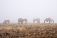 A herd of horses grazing in a foggy autumn morning. _ Stock Images