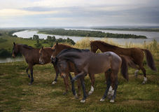 herd of horses grazing freely in the open at the bend of the Russian Kama River Stock Photo