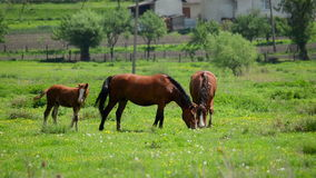 Herd of horses grazing on grass stock video footage