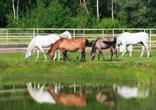 Herd of horses grazing on a green meadow near the water Royalty Free Stock Photo