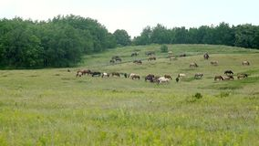 A herd of horses grazing in the meadow stock footage