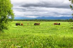 A herd of horses is grazed on a green meadow against the backdrop of mountains and a cloudy sky. royalty free stock photography
