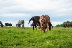 Herd of horses grazing in a meadow, beautiful rural landscape with cloudy sky. Stories about rural life in Ukraine Royalty Free Stock Photos