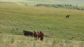 Herd of horses grazing in a meadow stock video