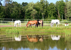 Herd of horses grazing on meadow near the water in the summer Stock Photo