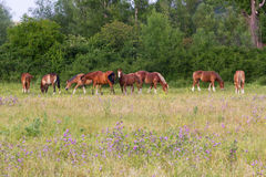 Herd of horses grazing Royalty Free Stock Photos